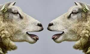 sheep talking to each other
