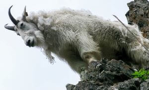 a goat on top of a mountain
